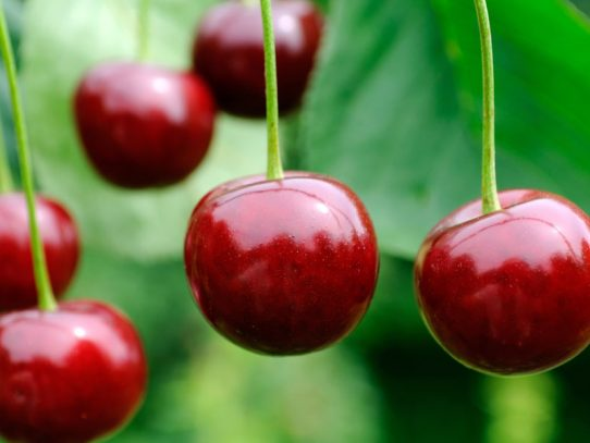 Sweeter deal for NSW cherry crops