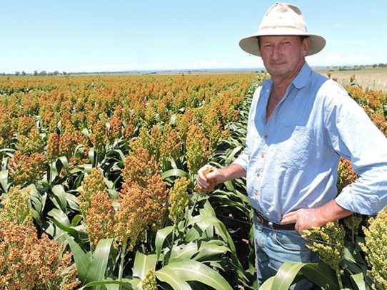 Inverell growers rely on one-variety sorghum program
