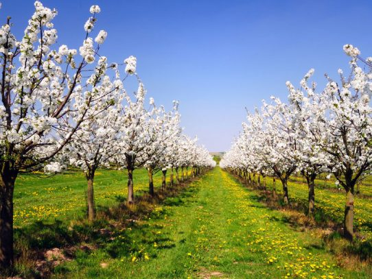 Protecting NSW cherries ready for export