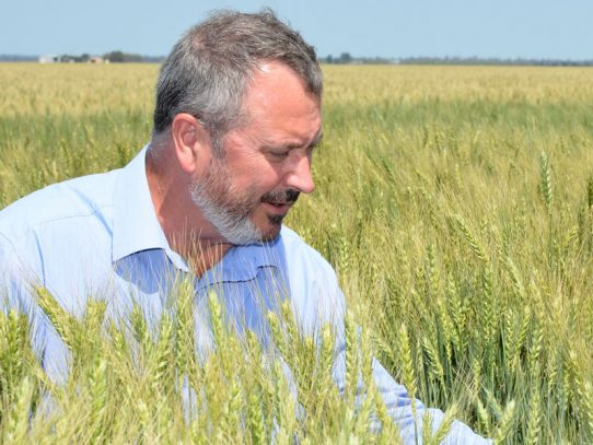 New Mustang wheat puts some muscle in the paddock