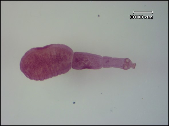 Echinococcus granulosus, hydatid tapeworm, are tiny but deadly and can cause disease in humans, if they come in contact with infective eggs which are shed into the environment through wild dog faeces (image by Lyn Knott, School of Veterinary Science, UQ).