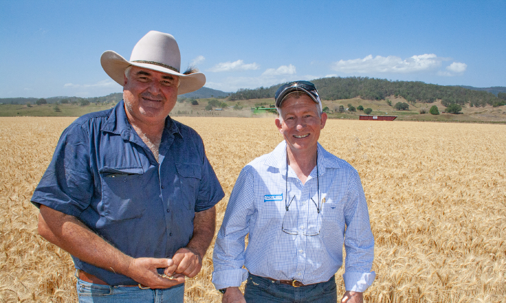 North Coast growers adopt quick wheat specialist Mustang