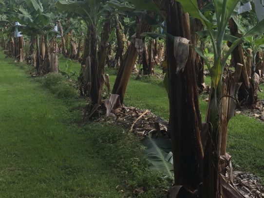 NSW DPI developing the banana industry