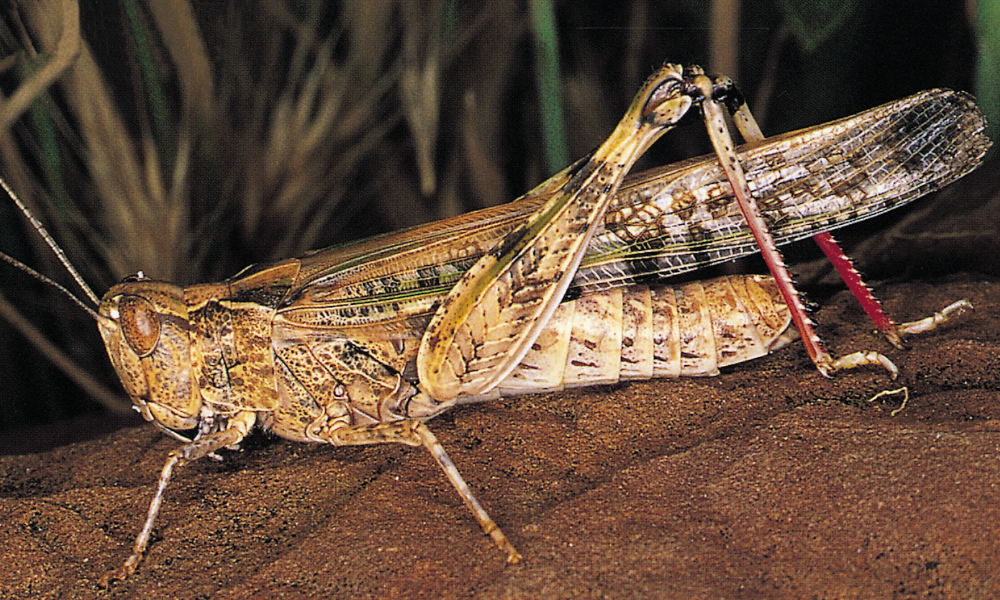 Report and control locusts to minimise impacts of autumn crops
