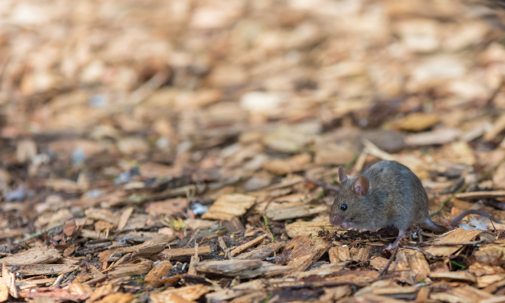 Farm and household help for mice management welcomed